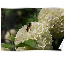 Bee on Viburnum carlesii in flower Poster