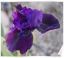 One of the first Iris in the garden to open.... Poster