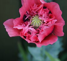 pink poppy by cadburylove