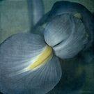 Faded Dutch Iris by Lydia Marano