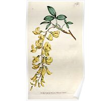 The Botanical magazine, or, Flower garden displayed by William Curtis V5 v6 1792 1793 0066 Cytisus Laburnum, Common Laburnum Poster