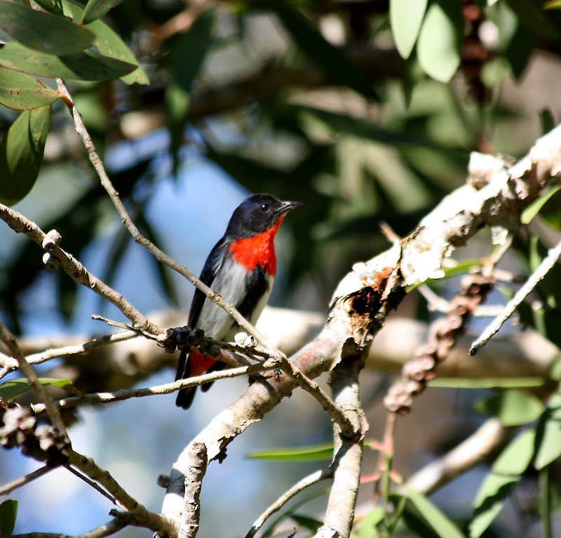 A Small Flowerpecker by byronbackyard