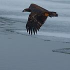 Bald Eagle by Robert Baker