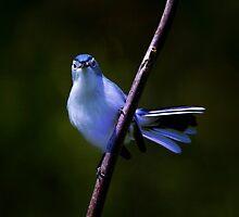 Blue Gray Gnatcatcher 1 by John Absher