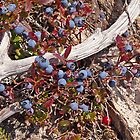 Mountain Blueberries by Jeff Holcombe