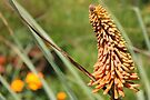 Red Hot Poker beauty by Maree  Clarkson