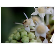 Fatsia Japonica Flower with Ant. Macro Poster