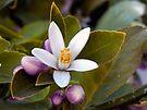Meyer Lemon Blossom by Lucinda Walter