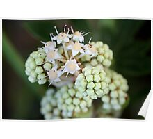 Fatsia Japonica Flower with Ants. Macro Poster