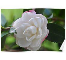Beautiful Camellia Poster