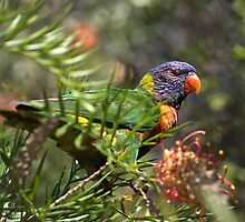 Rainbow Lorikeet  by Joy Watson