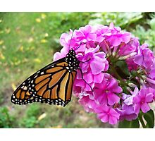 Monarch on Phlox Photographic Print
