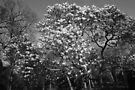 Magnolia Tree in Blossom (BW) by Artberry
