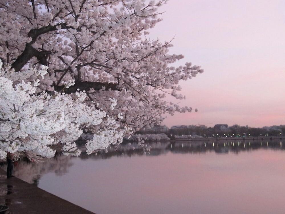 Cherry Blossoms at Dawn by DJAdkins