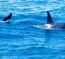 Killer Whale, Orca Dolphin by pinkT
