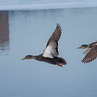Ducks in Flight by Robert Baker