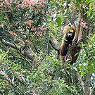 dear little Tree (Red) Panda, Taronga Park Zoo, Sydney by BronReid