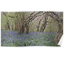 Ancient woodlands in Spring Poster