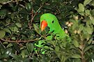 Hiding Out - Male Eclectus Parrot #2  by Carole-Anne