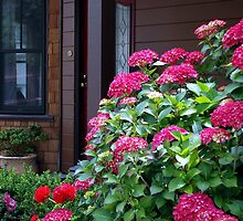 Red Hydrangea at Sausalito cottage by Marjorie Wallace