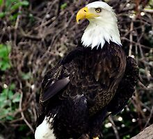 Bird of Prey by Joel Hall