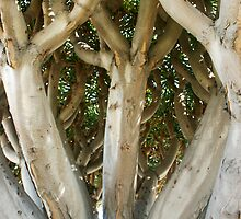 Dragon Tree at the Hotel Del Coronado by heatherfriedman