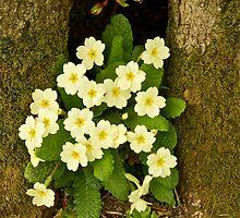 Spring Primroses by John Thurgood