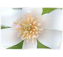White  magnolia  flower 1 Poster