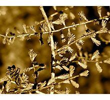 Pine Branch Photographic Print