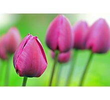 Tulips in Pink Photographic Print