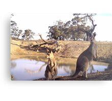 Standing Kangaroos Metal Print