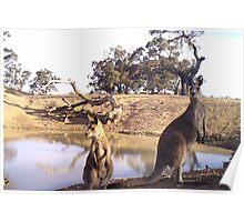 Standing Kangaroos Poster