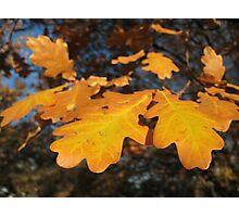 Oak Leaves Photographic Print