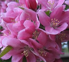 Apple Blossoms Jubilee by MarianBendeth