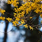forsythia. by katieshau