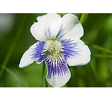 White Wood Violet Photographic Print