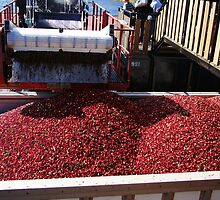 Harvesting cranberries by Poete100