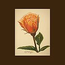 Sundance Rose by Linda Callaghan