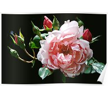 Albertine Rose Poster
