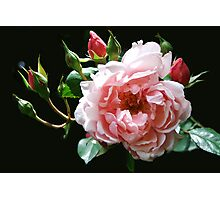 Albertine Rose Photographic Print