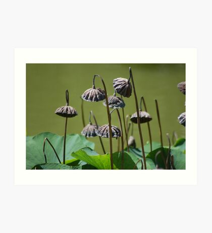 Lotus flower seed pods growing in pond (Japanese Garden) Art Print