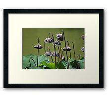 Lotus flower seed pods growing in pond (Japanese Garden) Framed Print