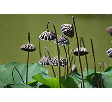 Lotus flower seed pods growing in pond (Japanese Garden) Photographic Print