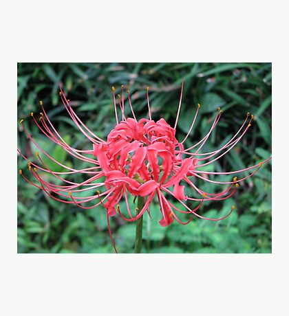 Naked Lady Lily Photographic Print