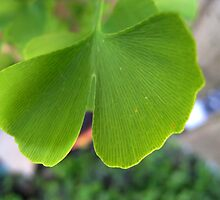 A Living Fossil: Ginkgo Biloba by Heather Friedman