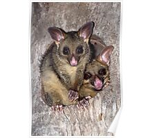 Coco and Yoyo - Australian Possum and Her Baby Poster