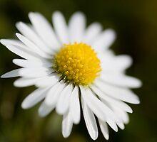 Delicate Daisy by Lynne Morris