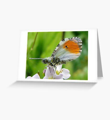 Damaged male Orange Tip Greeting Card