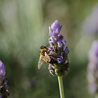 Lavender bee by emmelined