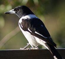 Pied Butcher Bird by Rochelle Buckley